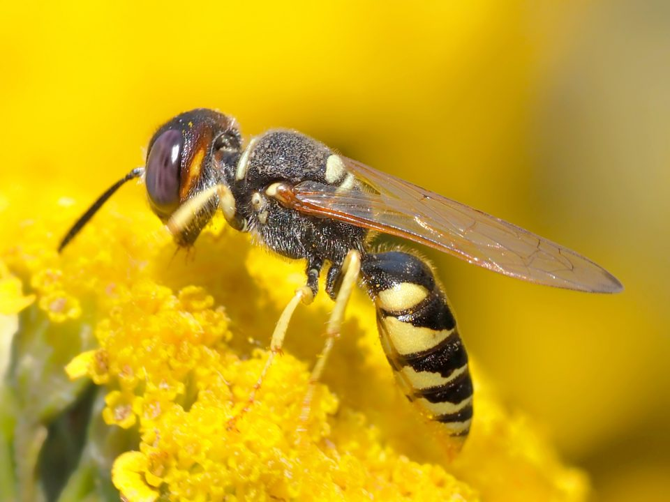 bee wolf, insect, wasp