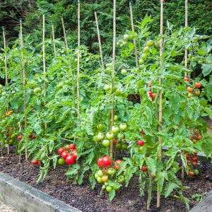 Tomatoes: Not Just for Salads